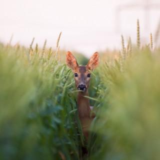 doe in grass